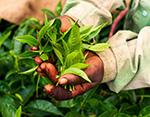 Teeanbau in Indien - Teeplantage